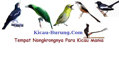 situs burung kicau burung.com