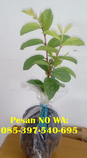 Jual Bibit Pohon Bidara di Makassar