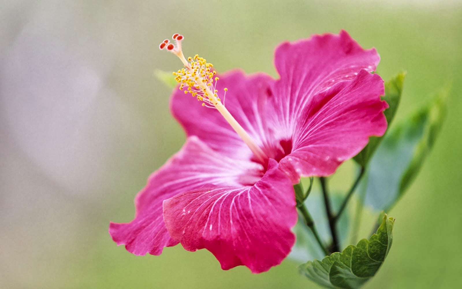 Wallpapers pink hibiscus flower wallpapers - Red flower desktop wallpaper ...