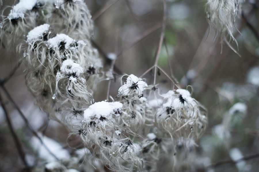 Blog + Fotografie by it's me! - Draussen - Frau Frieda sucht Schnee, fedrige verschneite Samenstände einer Clematis