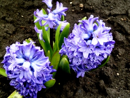 цветение гиацинтов