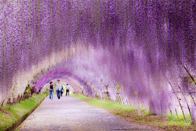 Wisteria Tunnel, Kitakyushu, Jepang