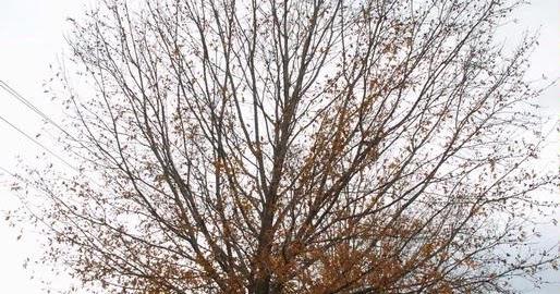 Meet A Tree: Texas Red Oak - Quercus texana