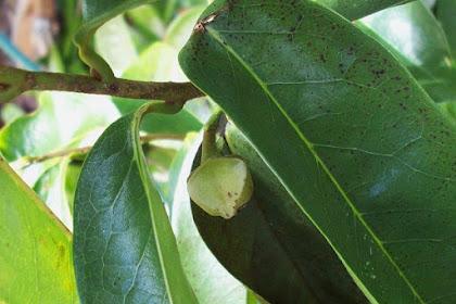 10 Manfaat daun sirsak bagi kesehatan tubuh dan cara pengolahannya