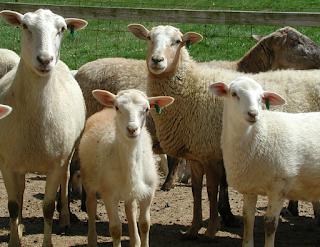 hewan terpintar dan tercerdas di dunia - domba