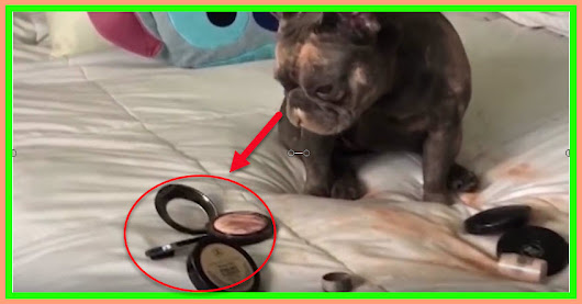 Guilty French Bulldog gets caught in mom's makeup