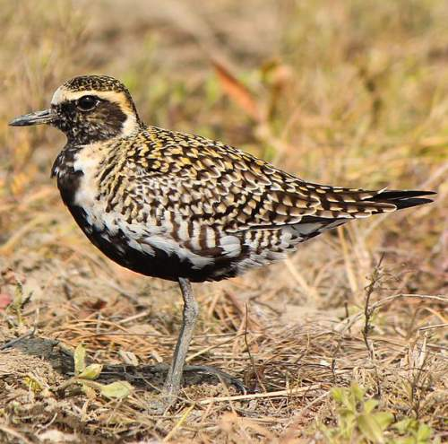 Indian birds - Image of Pacific golden-plover - Pluvialis fulva