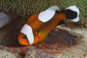 gambar ikan badut di terumbu karang lautan
