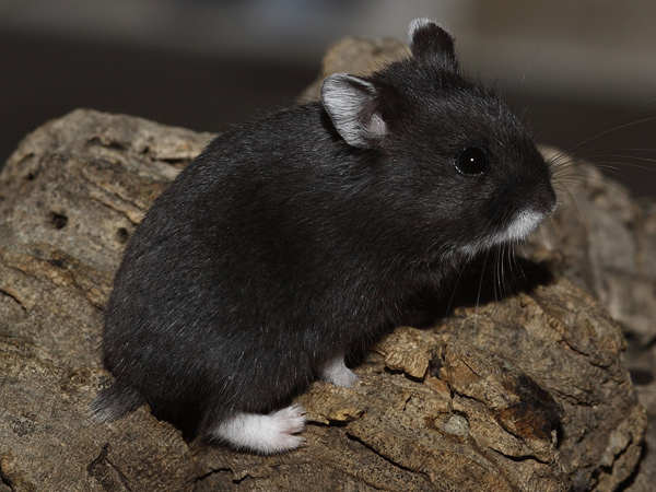 My Hammies World: Campbell's Russian Hamster Colors ...  My Hammies Worl...