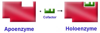 Struktur dan Fungsi Enzim, Koenzim Apoenzyme, Holoenzyme