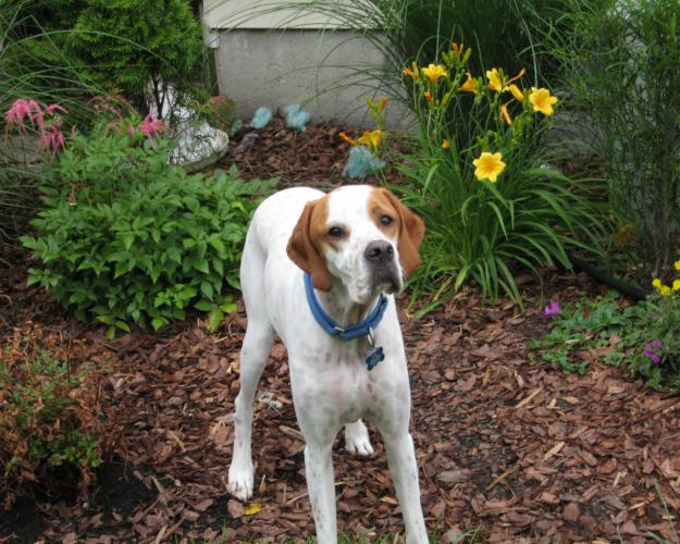 Dogs Info English Pointer
