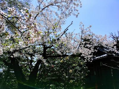 坂口安吾 風の館 庭の桜