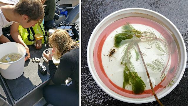 1. kuvassa kolme tutkijaa määrittävät kuoriaisia luupin avulla. 2. kuvassa kuoriaisia ja vesikasvi pienessä astiassa.