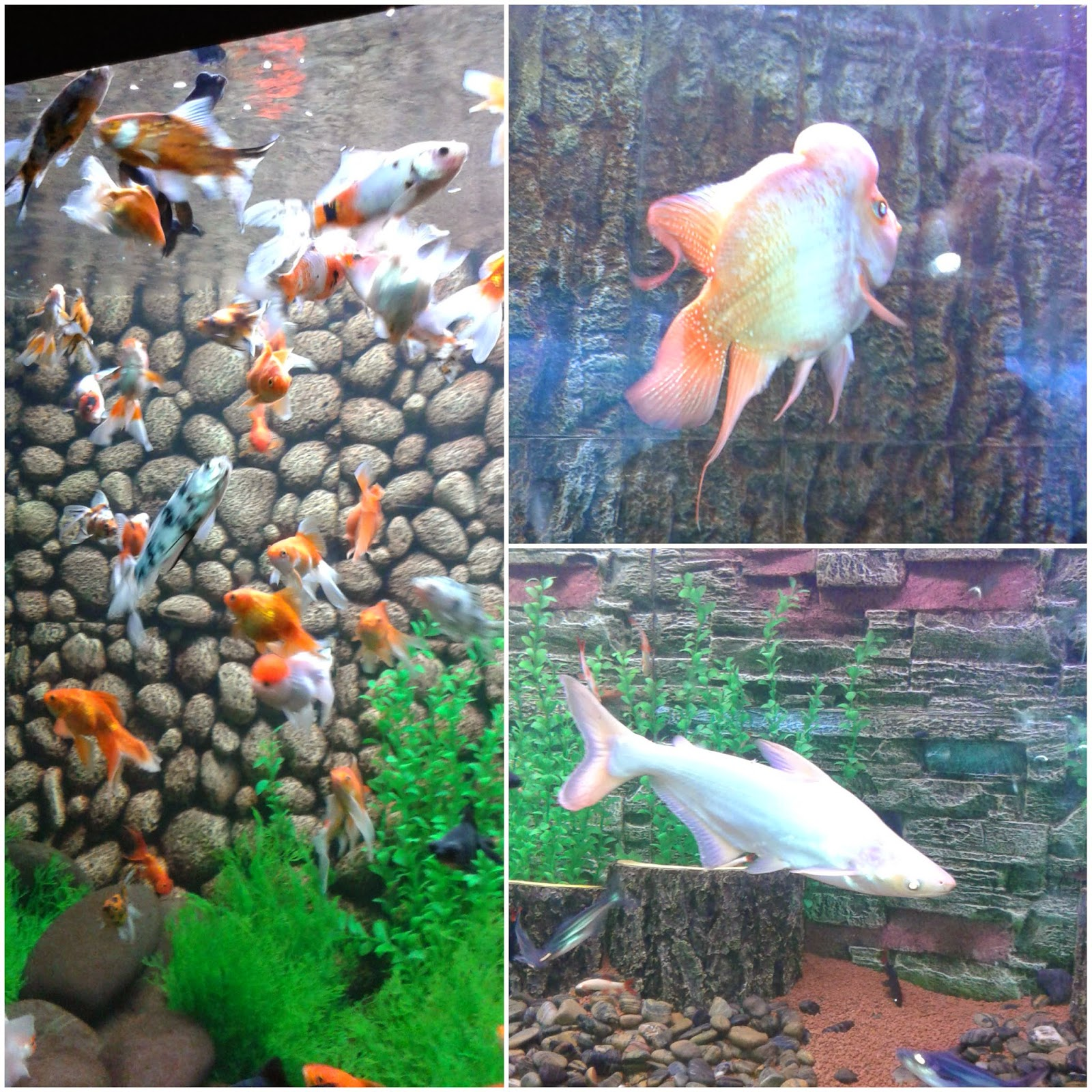 flower horn fish, gold fishes, surat aquarium fish