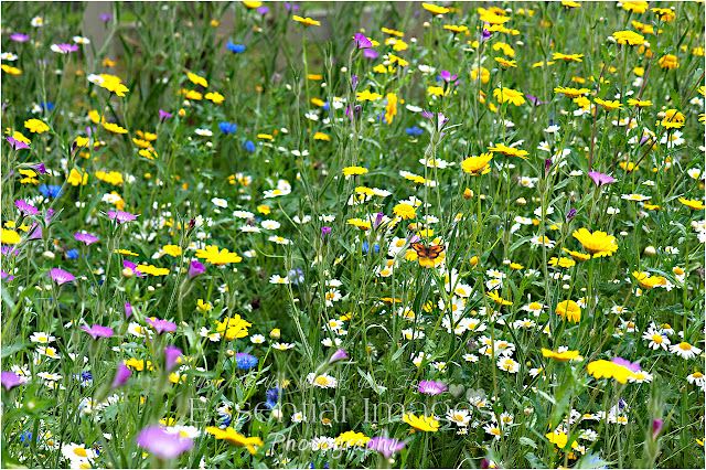 Spot the butterfly in the wild meadow at Barton