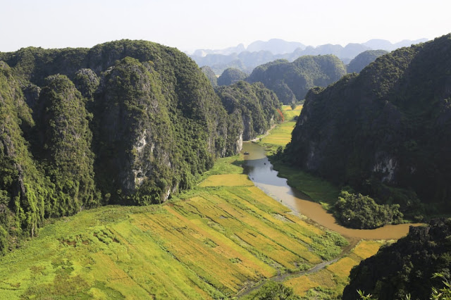 Ngỡ ngàng trước vẻ đẹp của cánh đồng lúa chín vàng vùng Tam Cốc nhìn từ Hang Múa