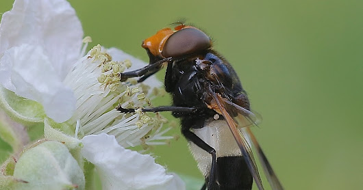 Volucella pellucens-Hoverfly