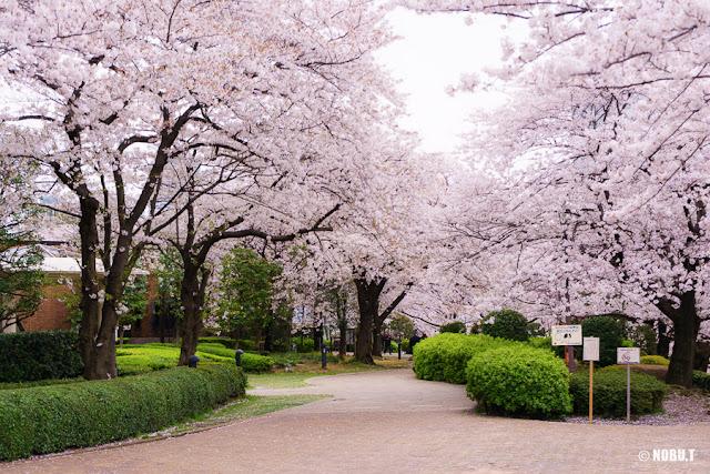 佃公園(中央区)の桜並木