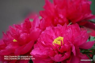 咲き揃う赤いボタンの写真