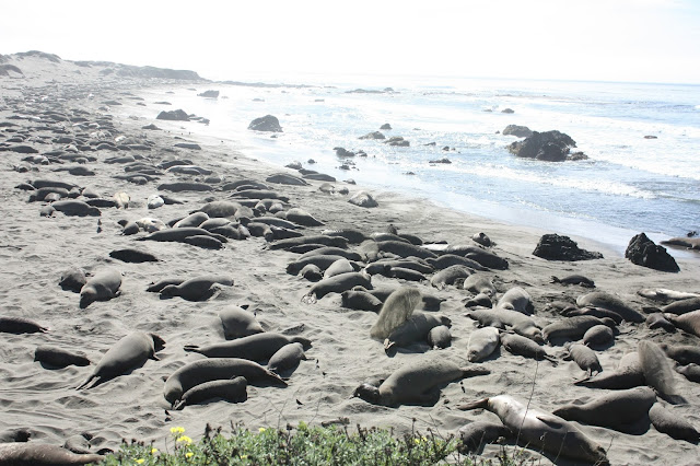 Elephant Seals near San Simeon - Recommended Stop for Big Sur Coastal Drive