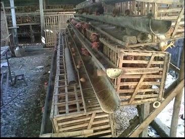gambar kandang ayam petelur dari bahan bambu
