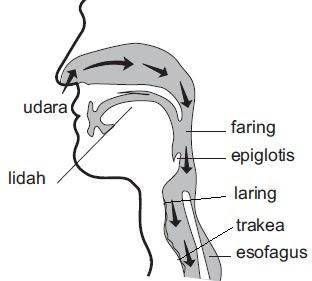 Gambar organ pernafaasan