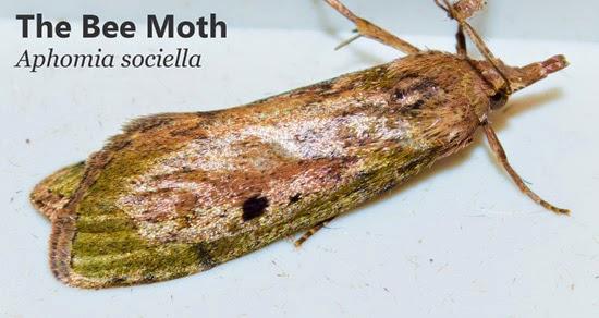 wax bee moth