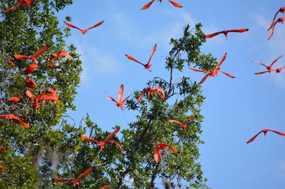 Auffliegen von Roten Ibissen (Eudocimus ruber) nach Störung.