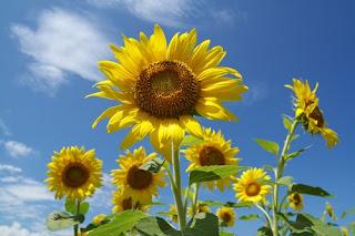 bunga-matahari-sidoarjo