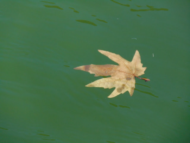 chinar leave