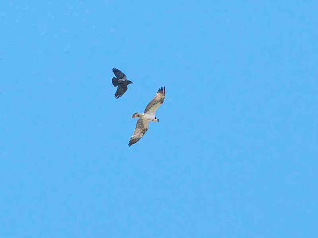 Crow chases Osprey