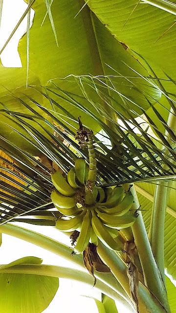Самарский детский эколого-биологический центр: бананы - гигантская трава
