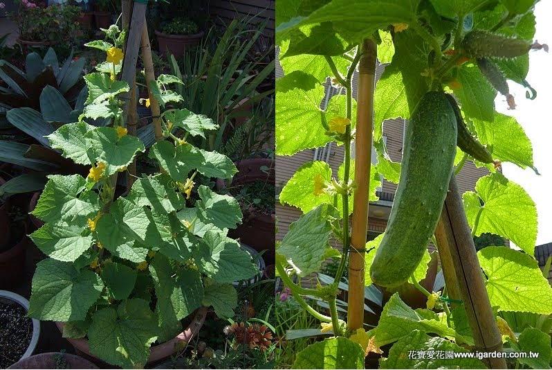 家庭菜園栽培術:鮮採即食-小黃瓜 - 園藝部落格:iGarden 花寶愛花園園藝文摘Plus
