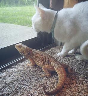 Kucing dan iguana lucu