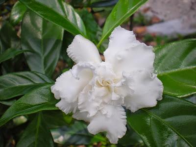 Image result for bunga susun kelapa
