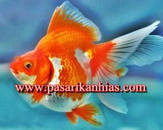 Harga Ikan Mas Koki Di Pasaran