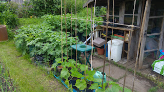 Climbing courgettes in foreground, potatoes in containers behind