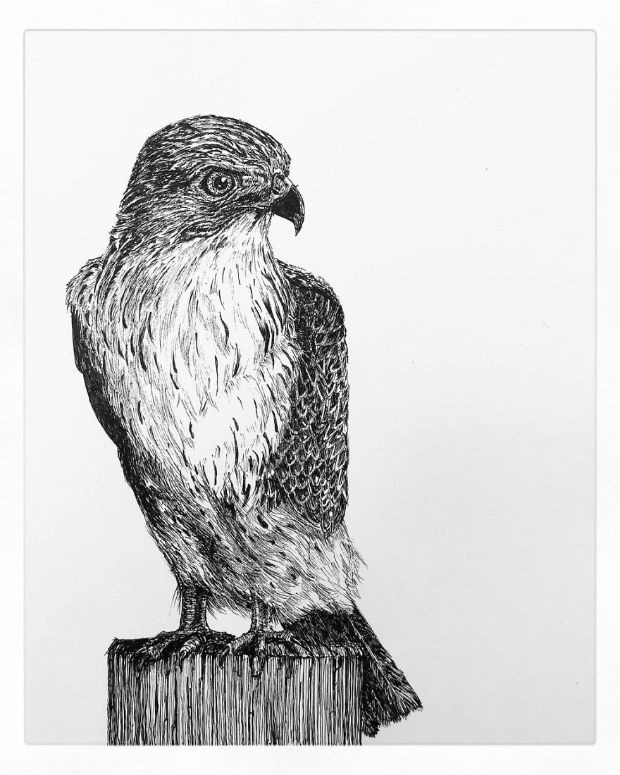 11-Buzzard-Bas-Geeraets-Black-and-White-Drawings-of-Birds-www-designstack-co