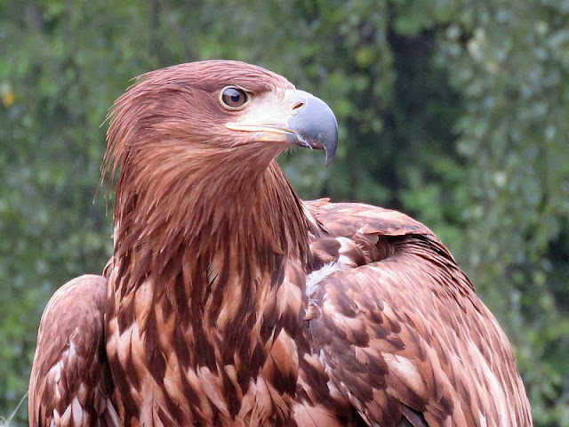 Orzeł przedni (fot. Dorota & Marek Szala, www.gorskiewedrowki.blogspot.com)