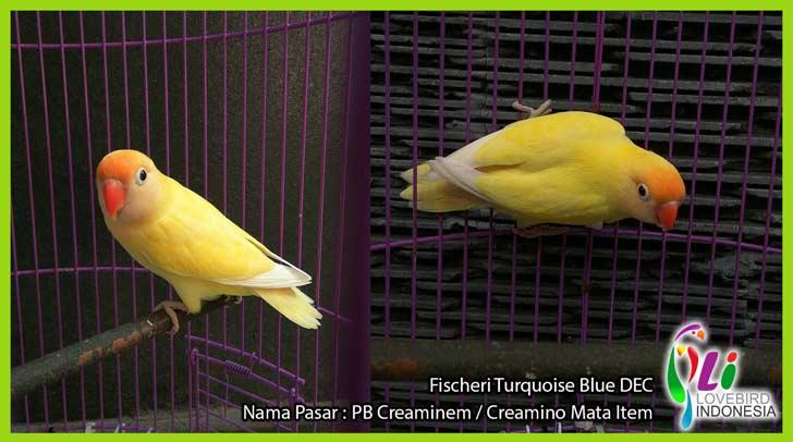 430+  Gambar Burung Lovebird Parblue  Terbaik Free