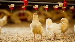 Poultry Farming Business Plan Proposal and Feasibility Report