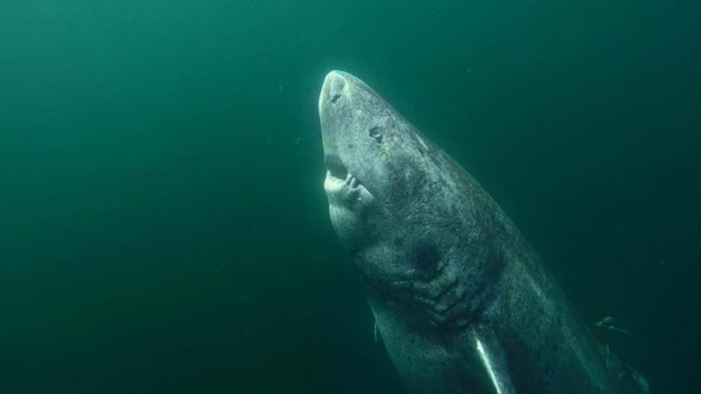 This 512-Year-Old GreenLand Shark Is The Oldest Living Vertebrate On The Planet