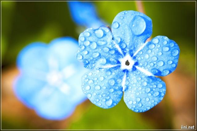 ảnh hoa 5 cánh màu xanh đẹp