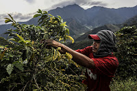 Climate change is threatening cultivated coffee crops with more severe outbreaks of disease and pests and with more frequent and lasting droughts. Any hope of developing more resistant varieties is likely to come from the wild. (Credit: Joaquin Sarmiento/AFP/Getty Images) Click to Enlarge.
