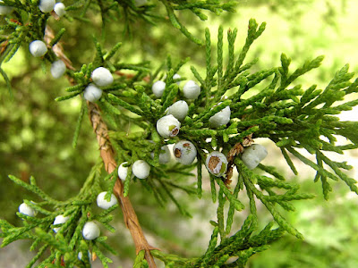 Top 10 Health Benefits of Juniper berry