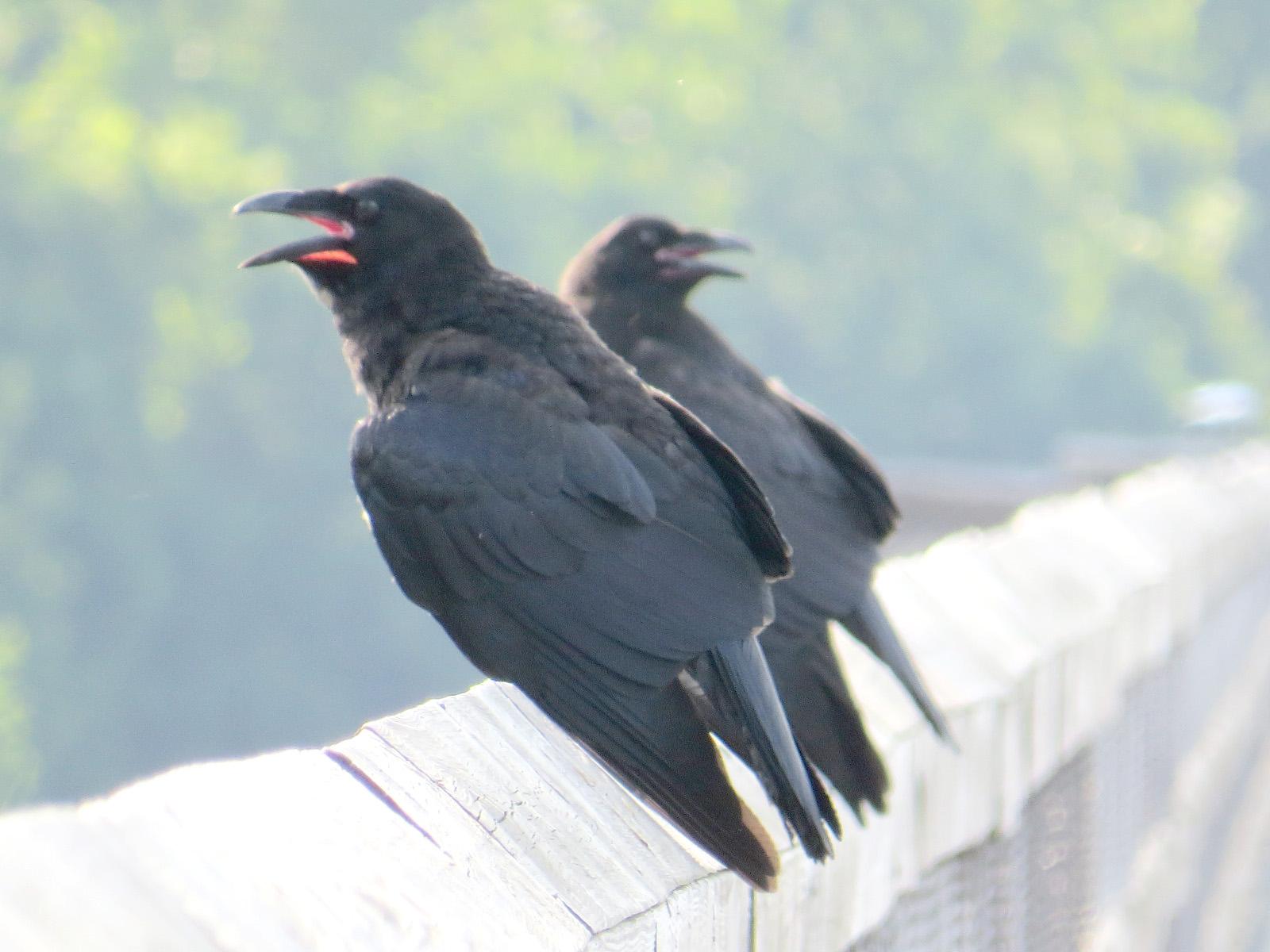 Crow+Raven+2.jpg