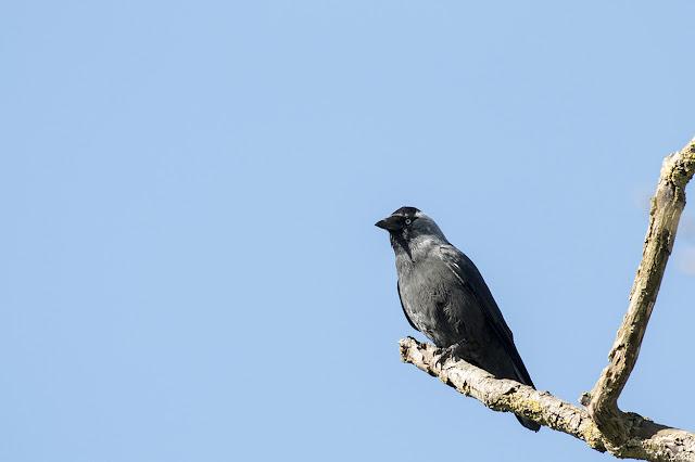 Jackdaw Briefly Alighting on Dead Tree