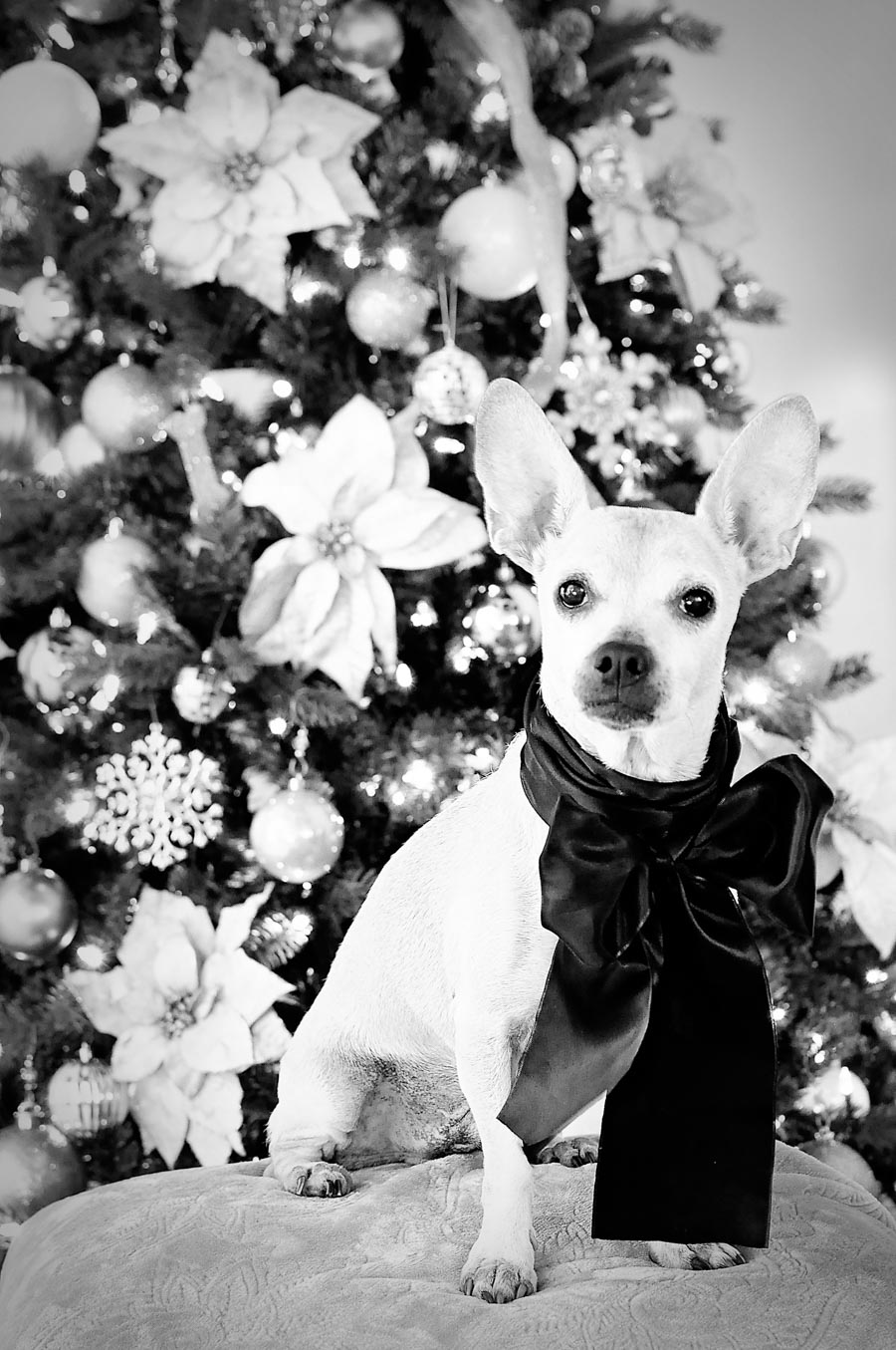 Pee Wee's holiday pet portrait 2017