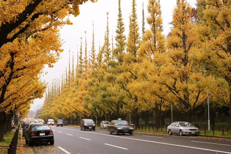 The Japanese have a special attitude to ginkgo: they consider it a sacred tree and, moreover, its healing properties are highly valued. Interestingly, several ginkgo trees