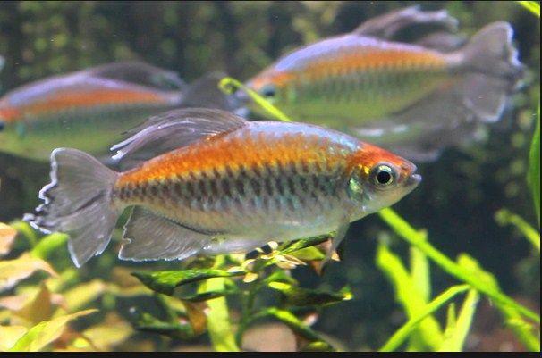 Cara Memelihara ikan kongo tetra
